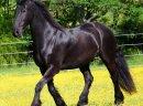 Piękna czarna fryzyjska klacz (konie na sprzedaż)