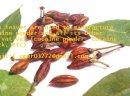Kup nasiona koki, liść koki, herbatę z liści koki i proszek z liści koki