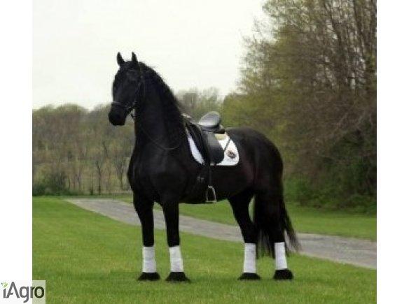 Koń na sprzedaż, fryzyjska klacz 5-letnia