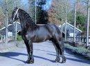 Na sprzedaż konie, klacz fryzyjska, 4 lata - zdjęcie 1