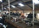 Krowy i jałowki HF holenderskie