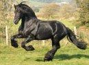 Czarna piękna fryzyjska klacz, koń na sprzedaż - zdjęcie 2