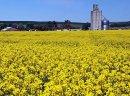Ukraina. Ziarna rzepaku 1300 zl/tona, wysokobialkowa sruta, makuch, olej sertyfikowane na biopaliwa i cele spozywcze. Odmiany populacyjne, typ mieszancowy z dobra zimotrwalosc cech agronomicznych. Wyselekcjonowane ziarna ozimego, jarego o wilgotnosci 6%