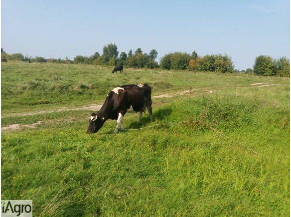Krowy mleczne - sprzedam