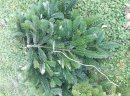 Gałęzie z jodły kaukaskiej - stroisz / choinki