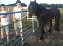 Outstanding 14.2hh Friesian Horses For sale