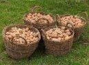 Ukraina. Ziemniaki 0,25 zl/kg, siano 70 zl/tona. Gospodarstwo rolne zamienie duze ilosci ziemniakow, siano lakowe na maszyny, plugi, agregaty, sprzet. Kartofle zolte i czerwone jadalne pakowane w siatki, opasowe powyzej 14% skrobi luzem. Wyselekcjonowane