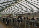 Krowy pierwiastki i jałówki wysokocielne HF - zdjęcie 2