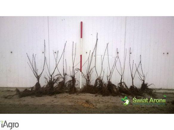 Sadzonki aronii wegetatywne NERO | Pomoc w zakładaniu plantacji