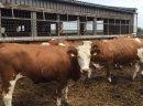 Jałówki i krowy simentalskie (simentale) pochodzenia czeskiego - zdjęcie 2