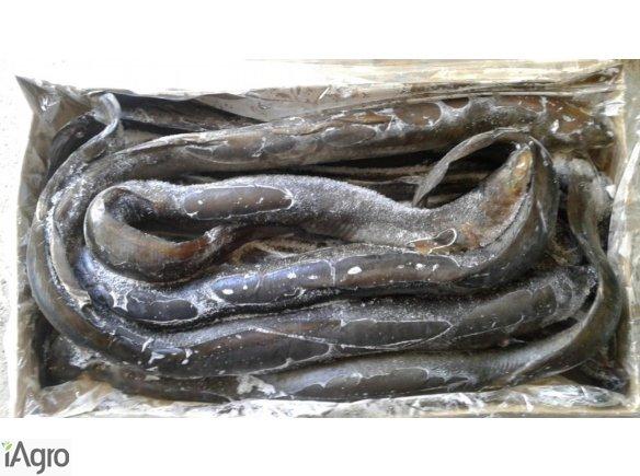 Ryby mrożone Węgorz Miecznik